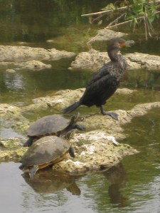 A cormorant and turtles keep a watch beside the Anhinga Trail in the Everglades. -- Photo by Pat Bean