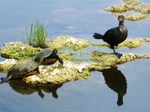 Turtles and a cormorant face off for space along the trail. -- Photo by Pat Bean