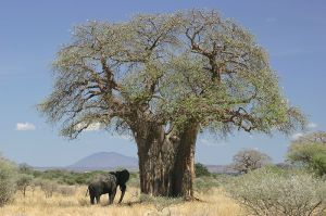 An elephant approaches a huge old baobab tree during its brief time of leaves. -- Wikipedia photo