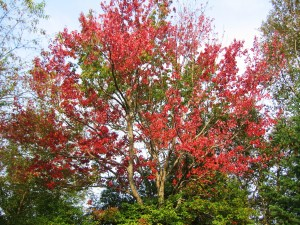 My RV was parked beneath this tree at the Paul Bunyon Campground in Bangor, Maine, for five days. Each morning the leaves were a brighter scarlet. -- Photo by Pat Bean