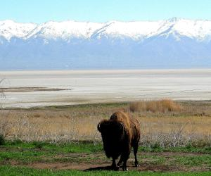 Antelope Island bison with a view of the Wasatch Mountains on the far side of Great Salt Lake. -- Photo by Pat Bean