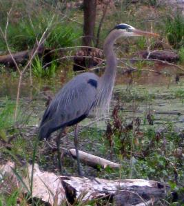 I was surprised at how close this great blue heron let me get before it flew off. -- Photo by Pat Bean