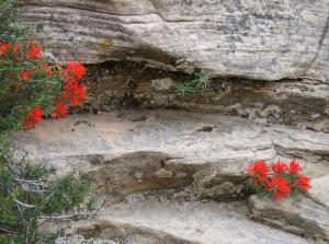Indian paintbrush growing out of a rock wall. -- Photo by Pat Bean