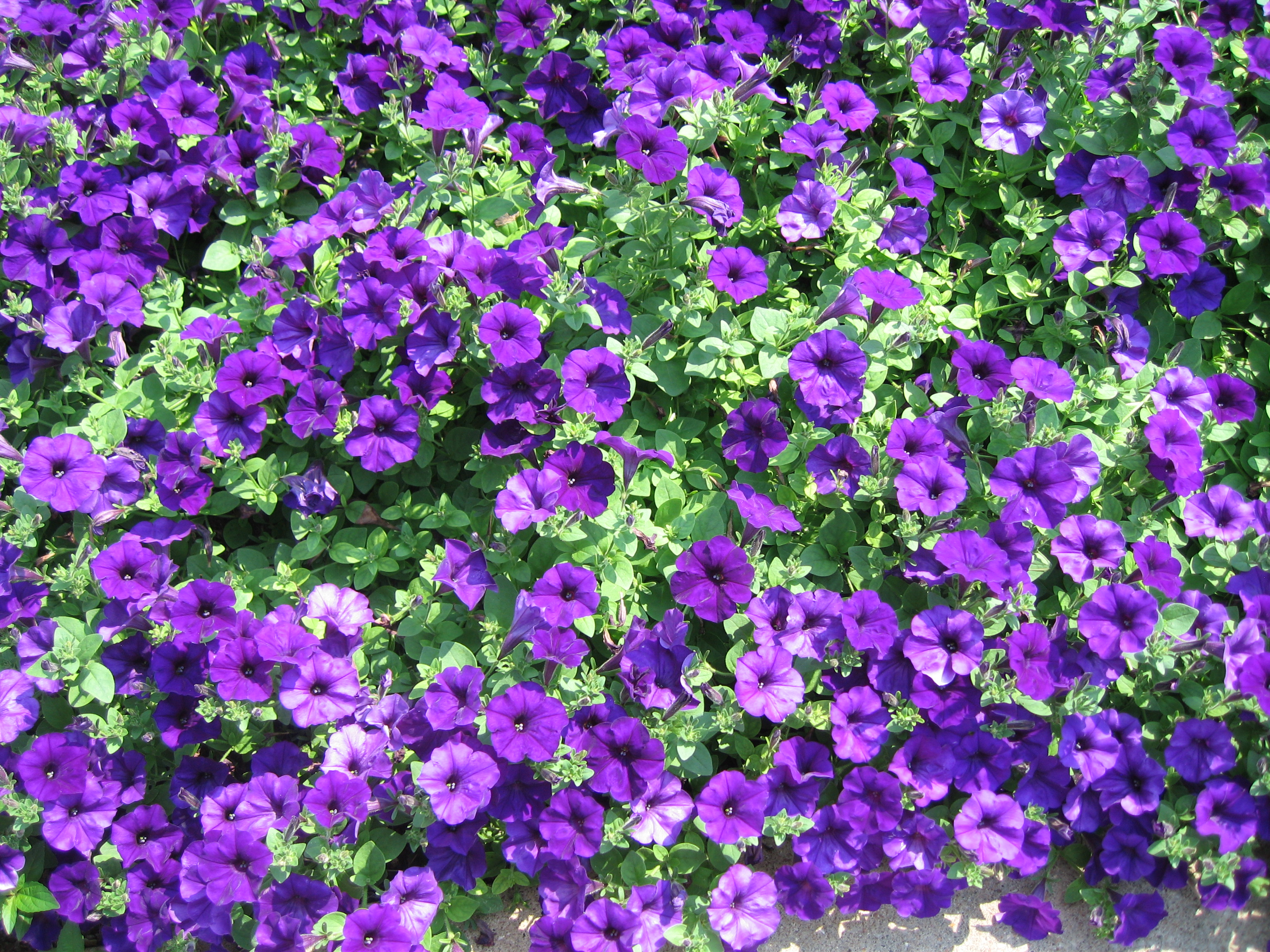 st-louis-botanical-gardens-purple-passio