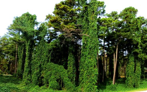 Kudzu taking over the landscape. Photo by Pat Bean ,