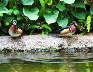 I wondered what Opryland charges these colorful wood ducks for their space in one of the complex's atriums. I shot this photo of the ducks during the boat ride.