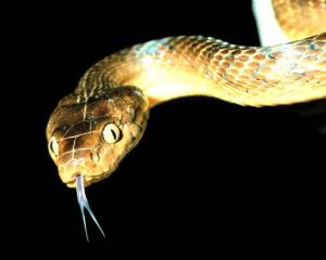 The brown tree snake that has killed of the birds on Guam.