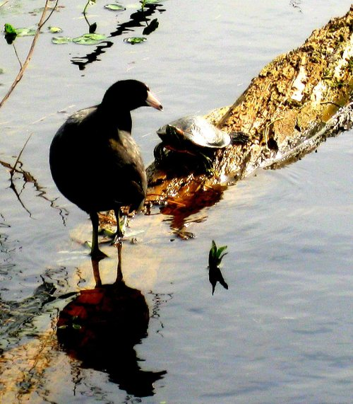 coot and turtle 2