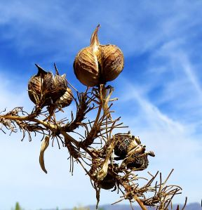 Seed pods against the desert sky.