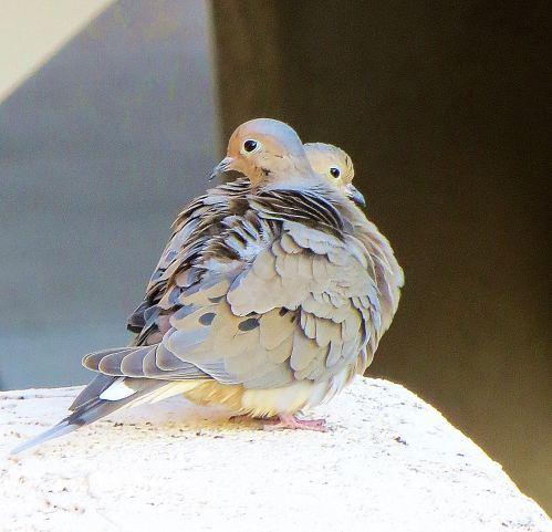 doves 1