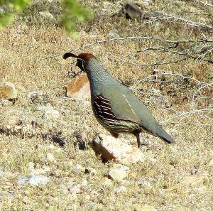 Gambel's quail -- Photo by Pat Bean