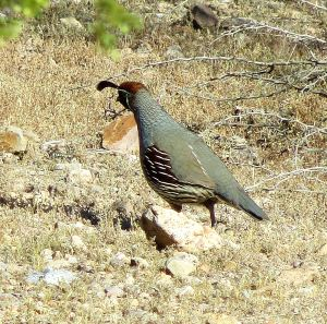 Gambel's quail -- Photo by Pat Bean
