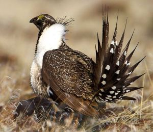 Sage Grouse: The bird that addicted me to bird watching. -- Wikipedia photo