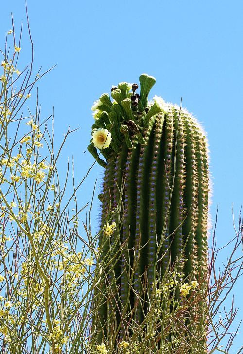Saguaro in bloom near my apartment. -- Photo by Pat Bean