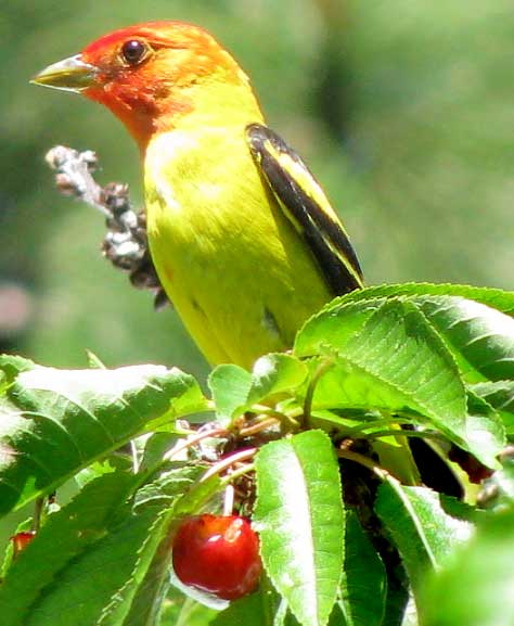 Western tanager -- Wikipedia photo