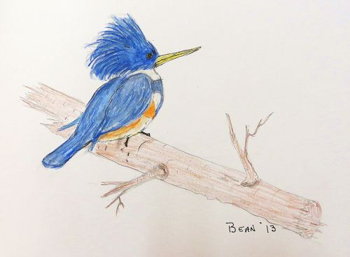 Belted kingfisher: I tried to capture the jazzy look and attitude of kingfishers in this sketch.