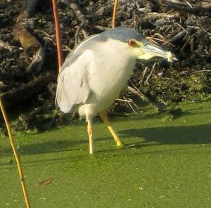 Black-crowned night heron -- Photo by Pat Bean