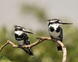 A couple of pied kingfishers, which were among the favorite birds I saw in Africa. -- Wikipedia photo