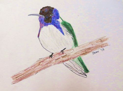 A male costa hummingbird. The female lacks the bright colors, being mostly green and white. -- Pat Bean illustration.