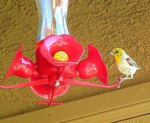 But when a more colorful adult landed, I finally knew my nectar thief was a verdin. -- Photo by Pat Bean