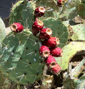 The desert's many varieties of cactus and their flowers fascinate me. -- Photo by Pat Bean
