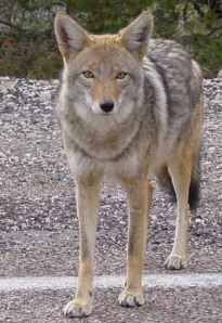 This coyote, photographed beside an Arizona highway, probably weighs 35-40 pounds  -- Wikipedia photo