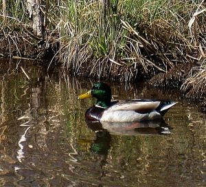 And here's the duck. They were both photographed at Riverside Park in Bayfield, Colorado -- Photo by Pat Bean