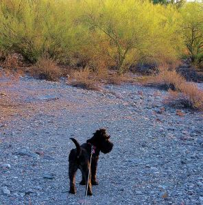 Miss Pepper takes in her dessert surroundings as the sun sets the Palo Verde trees in background aglow. -- Photo by Pat Bean
