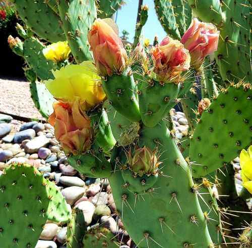 Pink and yellow and thorny. -- Photo by Pat Bean