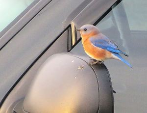 This is an eastern bluebird that I photographed in the Natchez Trace as he sat on the rearview mirror of my RV. Hes cute, too, isn't he? == Photo by Pat Bean