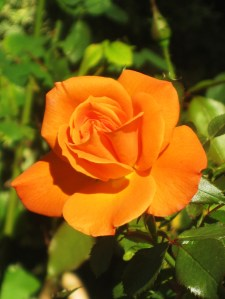 How many times have you been pricked by a rose bush thorn? -- Photo by Pat Bean