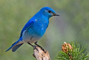Male mountain bluebird. Have you ever seen anything bluer? -- Wikipedia photo