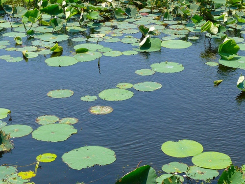 A lily pad pond at Atwater's National Wildlife Refuge. -- Flick'r photo