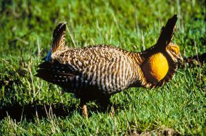 In 1900, a million Atwater prairie chickens roamed the coastal prairies, by 1998 less than 300 remained. Like the passenger pigeon, this species is headed toward extinction. -- Wikimedia photo