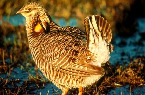 These birds today can only be found in the will at the Attwater Prairie Chicken National Wildlife Refuge near Eagle Lake, Texas, and the Texas City Prairie Preserve near Texas City.  -- Wikimedia photo