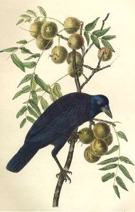 Even John James Audubon depicted a crow as looking a little wicked. Don't you agree.