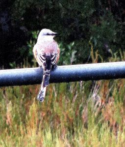 A scissor-tailed flycatcher sitting in the rain at Brazoria National Wildlife Refuge. -- Photo by Pat Bean