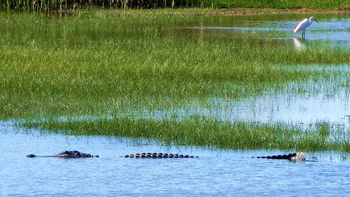 This alligator was shot from the viewing platform in Wolfweed Wetlands and was more than a football field away. -- Photo by PatBean