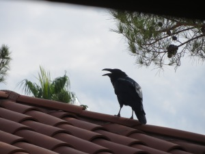 One of my roof-top ravens on an earlier day. -- Photo by Pat Bean