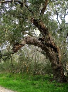 I wonder if the spirits of trees like this beauty in Brazos Bend State Park in Texas are infused into the paper I touch and use daily.