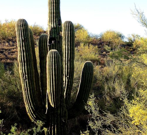 The beautiful saguaro cactus needs age to become beautiful and grow its arms. It's barely a couple of inches tall at the age of 10 and can be 40 years old before it spouts an arm.  -- Photo by Pat Bean