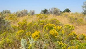 Patches of yellow on the landscape. -- Photo by Pat Bean