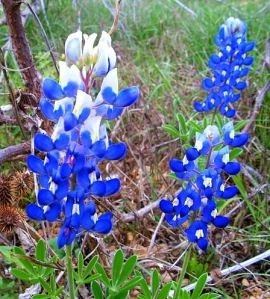 Up close and personal with Texas' state flower.