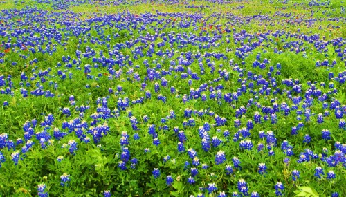 The drive between Dallas and Austin is filled with roadside bluebonnets right now. Get out and go see them. -- Photo by Pat Bean
