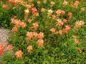 The Indian paintbrush blossoms along side Texas highways aren't too shabby either. --  Photo by Pat Bean