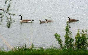 Canada geese on Lake Walcott in Idaho. Photo by Pat Bean