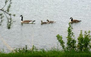 Canada geese on Lake Walcott in Idaho. Photo by Pat Bean