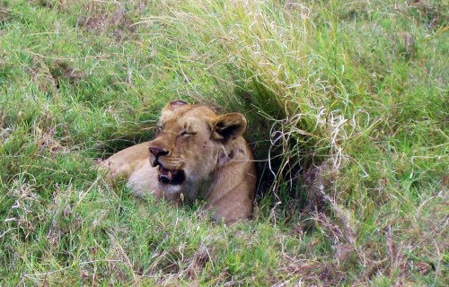 Seeing lions in Africa might have been the very first thing I put on my bucket list, thanks to reading Osa Johnson's lion watching stories. And in 2007, I crossed it off what over the years grew to hundreds of things I wanted to do. -- Photo by Pat Bean