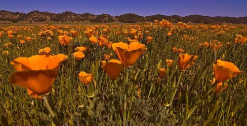 I bet you can easily guess what kind of seeds come from this California poppy. -- Wikimedia photo
