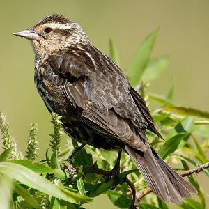 Female red-winged blackbird. -- Wikimedia photo